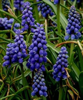 Muscari armeniacum - Traubenhyazinthe (10) von GHA-Thulke auf Du und dein Garten