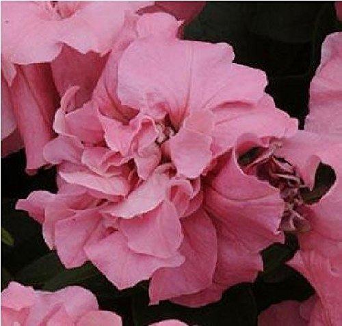 Il vous suffit de graines de fleurs???Petunia???Double Duo Rose satin? F1?150?graines en granul?s???Gros Lot
