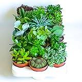 Best Mixed Indoor Plants - Large Live Mixed Succulent Plants Indoor Open Terrariums Review