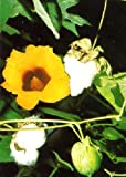 TROPICA - Pianta del cotone in vaso (Gossypium herbaceum) - 12 Semi- Piante utili