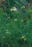Portal Cool 16000Sd: (325) 'Kings' Premier Qualità Herb cumino dei prati Semi 16000