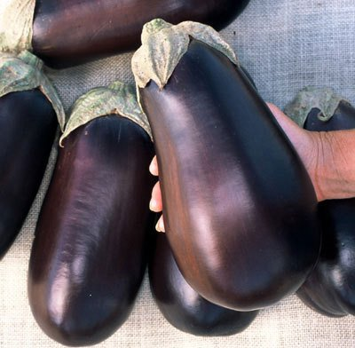 French Heirloom heritage aubergine eggplant seeds. AMERICAN USA FLORIDA HIGH BUSH. Certified organic grower