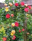 #8: Rare lovely multi-coloured climber Masquerade Rose Perennial Rose 1 Live Plant