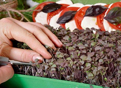 Microgreens - Basilic rouge\