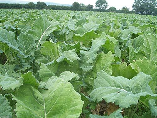 1 Unze Lebensmittel (vegherb 1 Unze Pack- apprx 10.000 Samen Zwerg Essex Rape Kale Samen (Brassica Napus) Gemüse, Kuchen und zart und Crunchy)