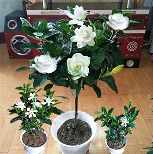 SANHOC 100 Stück Seltene Kletterpflanzen Jasmin Bonsai erstaunlicher Geruch und schöne Blumen ausdauernde Pflanze eingerichtete Haus Garten