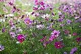 adrium Poster-Bild 60 x 40 cm:The cosmos flower garden, Bild auf Poster