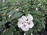 3 Stk. Hibiskus - Garteneibisch 'Speciosus' - (Hibiscus syriacus 'Speciosus') - Topfware 15-25 cm