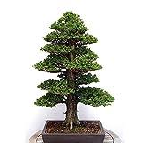 Generic Generische Japanische Zeder Semillas Bonsai Samen Seltene Baum Samen für Hausgarten Pflanzen-20 STÜCKE