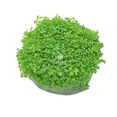 Hemianthus Callitrichoides Cuba Hc In Vitro Live Aquarium Plants Carpet Tropical invitro