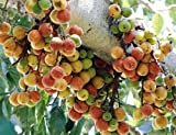 #10: Plant House Live Gular-Ficus Racemosa-Cluster Fig Fruit Plant (with Pot)