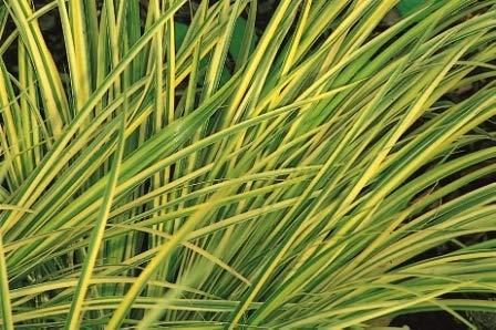 Acorus gramineus Ogon- Kalmusgras -Ziergras- 12 cm Topf - Balkon-Garten-Wasser-pflanze, immgrün winterhart