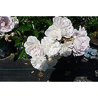 Suchergebnis Auf Amazonde Für 20 50 Eur Rosen Garten