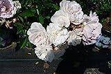 10x Bodendeckerrose Sea Foam reichblühende weisse Blütenpracht kräftige Bodendecker Rose Rosen 20/30 cm (10)