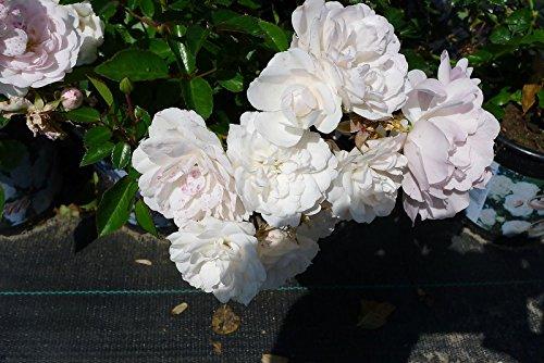Bodendeckerrose Sea Foam reichblühende weisse Blütenpracht kräftige Bodendecker Rose Rosen 20/30 cm (10)