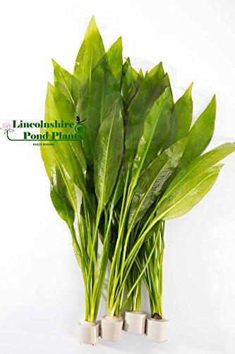 amazon-sword-plants-echinodorus-bleheri-live-aquarium-plants-aquatic-plants-for-your-fish-tank-5