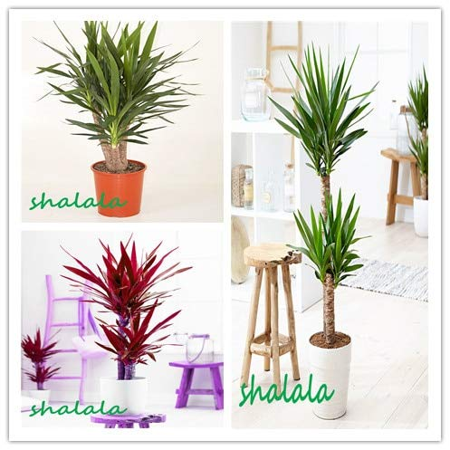 sanhoc 50 pezzi yucca bonsai piante in vaso al coperto vaso bonsai alta germinazione alto-garde bonsai evergreen anti-radiazioni: misto