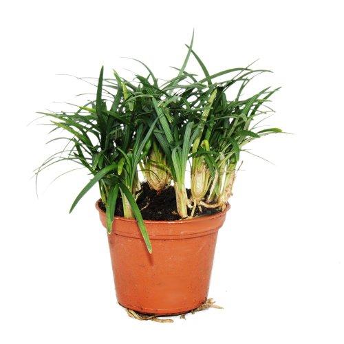 Bonsaï Ophiopogon japonicus « Nana » - dans un pot de 10cm