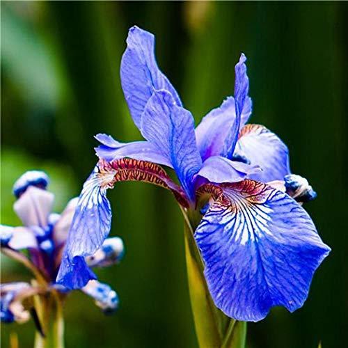 begorey Garten - 20 Stk. Seltene Blaue Iris Samen Bonsai Pflanzen Blume Samen Hausgarten Blumensamen