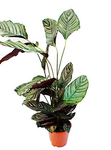 XXL-Schattenpflanze mit ausgefallenem Blattmuster - Calathea ornata - 19cm Topf - ca. 70-90cm hoch