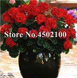 Bloom Green Co. Bonsai Geranium 100 Stück Japanischer Gelb Ppleblossom Rosebud Pelargonium blühende Geranien Balkon Seedssplant Für Hausgarten: 17