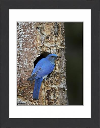 framed-print-of-male-mountain-bluebird-sialia-currucoides-with-food-at-the-nest-yellowstone