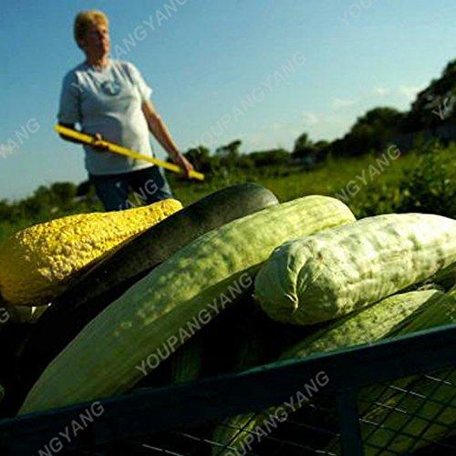 100pcs / pack de rares ronde concombre jaune Graines délicieux concombre bio fruits et semences potagères pour jardin Plantes Bonsai Graines Concombre