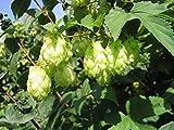 PLAT FIRM Semi di GERMINAZIONE: 350 graines - Humulus lupulus (houblon) - W/Tracking