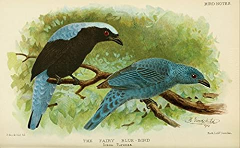 H. Goodchild – Bird Notes 1902 Fairy Blue-bird Fine Art Print (60.96 x 91.44 cm)