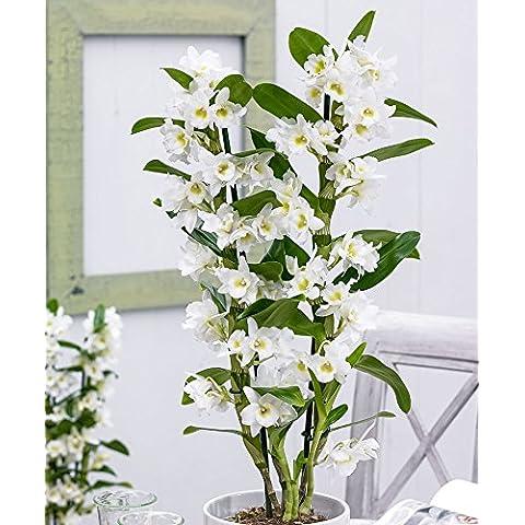 Bakker Orchidea Spring Dream Apollon - cad.
