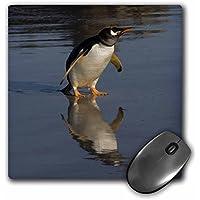 Danita Delimont - Penguins - Gentoo Penguin,