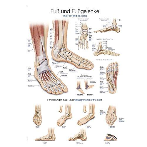 """Lehrtafel """"Fuß und Fußgelenke"""", 50x70cm, Kunstdruckpapier"""