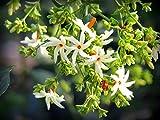 #8: Coral Night blooming Jasmine / Parijat पारिजात ( Nyctanthes arbor-tristis ) live plant