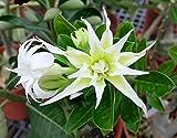 #7: Aiden Gardens Rare Spider White Double Adenium Obesum Desert Rose Flower 1 Healthy Live Plant Seedling