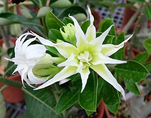 Aiden Gardens Rare Spider White Double Adenium Obesum Desert Rose Flower 1 Healthy Live Plant Seedling