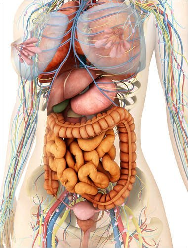 Alu Dibond 70 x 90 cm: Female body showing digestive and circulatory system. von Stocktrek Images / Stocktrek Images
