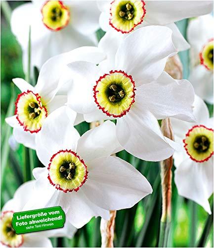 "BALDUR-Garten Narzisse\""Recurvus\"" winterhart, 8 Zwiebeln Narcissus Osterglocke Blumenzwiebeln"