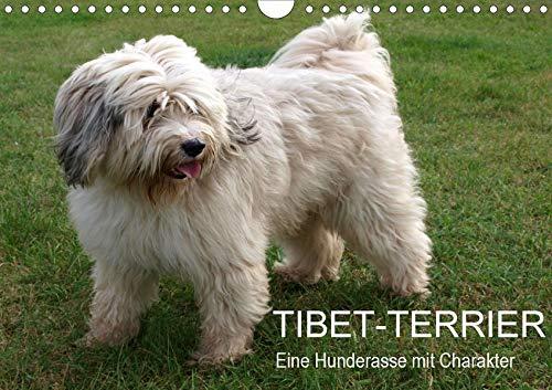 Tibet-Terrier - Eine Hunderasse mit Charakter (Wandkalender 2020 DIN A4 quer): Der Tibet-Terrier ist eine liebenswerte, lebhafte, freundliche und ... (Monatskalender, 14 Seiten ) (CALVENDO Tiere) -