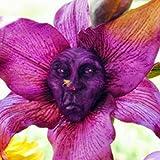 KINGDUO Egrow 100Pcs/Pack Monkey Face Orchidee Samen Alte Menschen Gesicht Blumen Samen Pflanzen