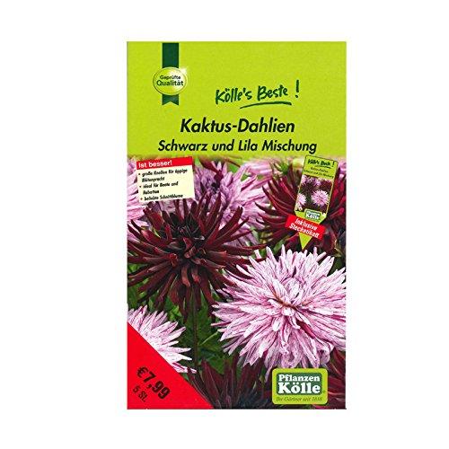 Blumenknollen Kaktus-Dahlien Schwarz und Lila - Mix aus schwarz- und lilablühenden Dahlien-Sorten - Knollengröße 1 - 5 Knollen in der Packung - Kölle's Beste - Kaktus Mix
