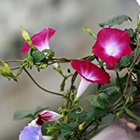 mymotto 50pcs adorable Flower Semillas Flores perfumadas Morning Glory Seeds, 1, 50 Pcs
