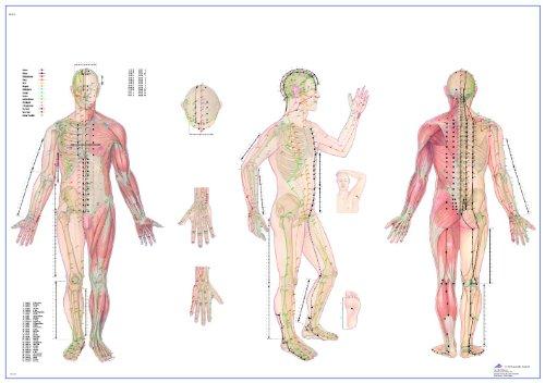 Akupunkturtafel (3B Scientific Lehrtafel Akupunktur, 98x68cm, laminiert)