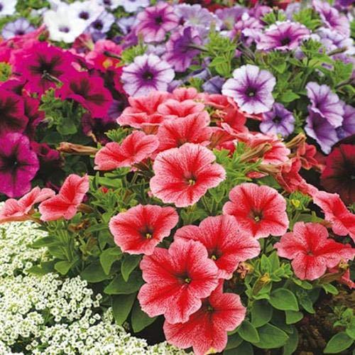 Qulista Samenhaus - 50pcs Selten Balkon-Petunien-Mix 'Amore®' Blumensamen Mischung winterhart mehrjährig, geeignet für Blumenkästen & Ampeln & Töpfe - Schwarze Exotische Mini