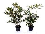 10 Rhododendron Roseum Elegans, Höhe: 50-60 cm ab Topf, Alpenrose, rosa, Hecke, 2 Liter Topf