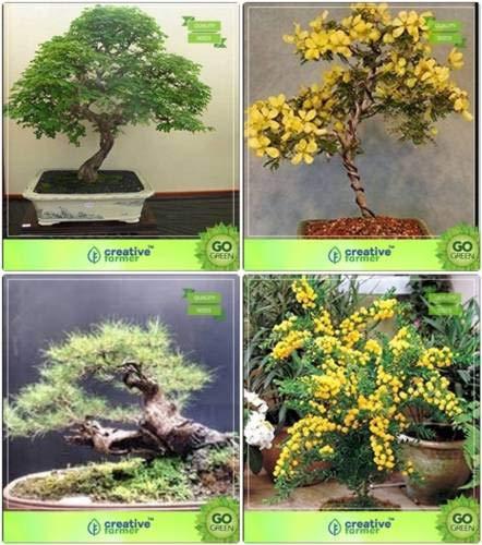 Pinkdose bonsai seeds: seme per combo stagione divi-divi, golden rain tree, pino australiano, acacia mangium giardino seme semi