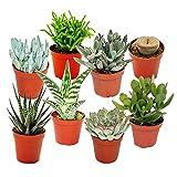 exotenherz Pflanzen, Sukkulenten-Starter-Set - 8 verschiedene im 5,5 cm Topf, grün, 27 x 17.5 x 8...