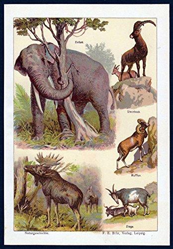 Elefant Steinbock Mufflon Ziege Elch Tier Tiere Chromo Litho Lithographie