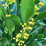 Bio-Saatgut nur Pflanzen Nicht: Aglaia, Parfüm, r, 100 Samen durch FäHRE