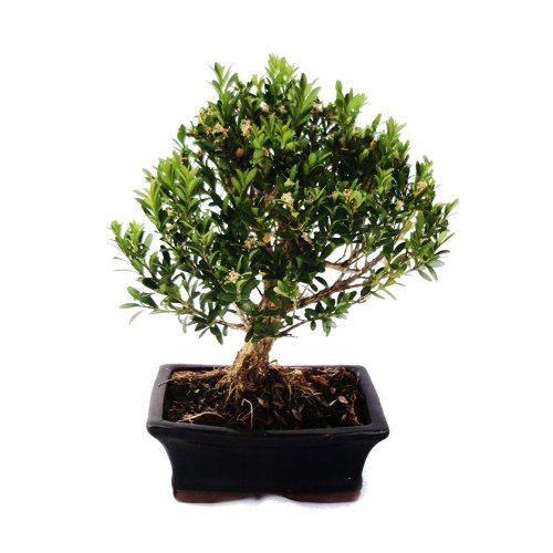 Bonsai Boxwood - Buxus herlandii 15cm
