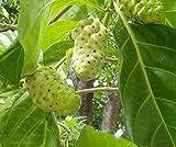 Asklepios-seeds - 30 Semi di Morinda citrifolia Il Noni o gelso indiano